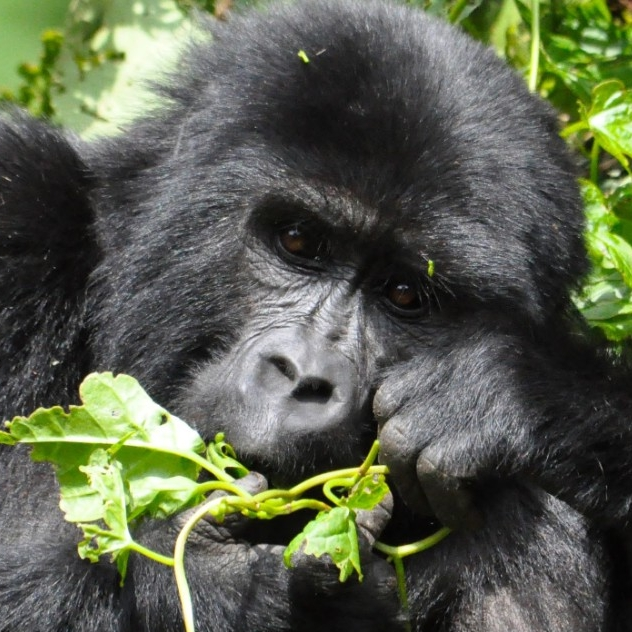 Mountain gorilla. (Michael Miller)