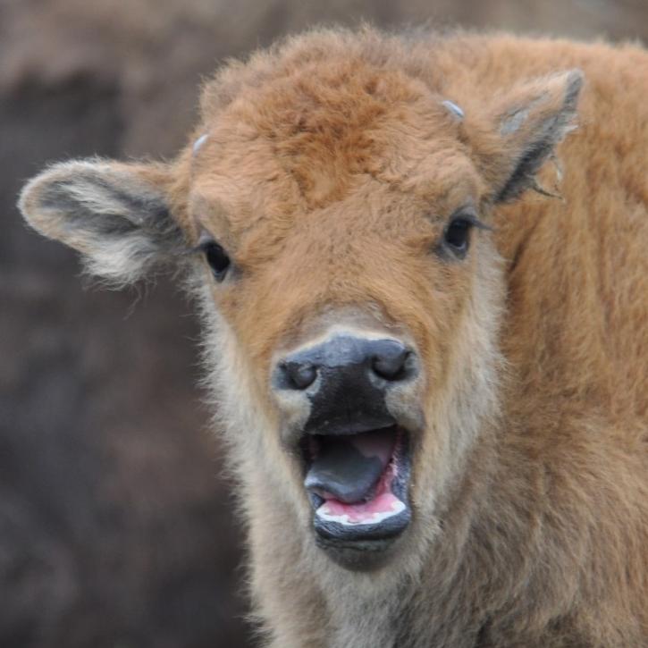 Wood bison. (Michael Miller)