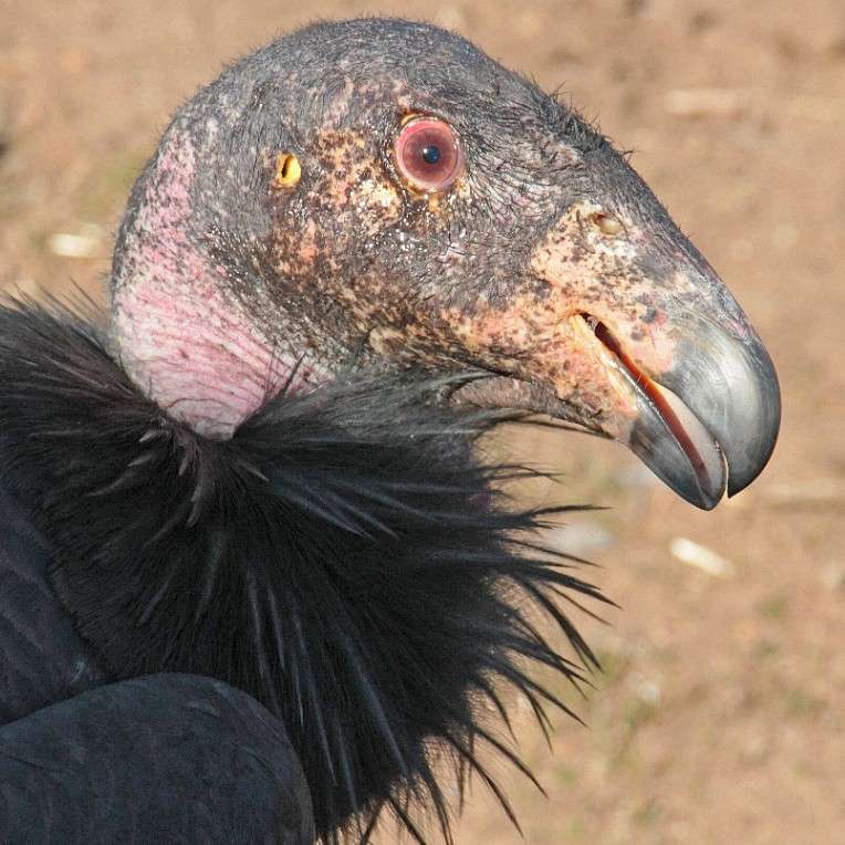 California condor. (Scott Flaherty, USFWS)