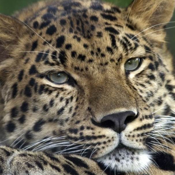 Amur leopard. (Colin Hines/Wikimedia Commons)