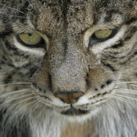 Iberian Lynx. (Programa de Conservación Ex-Situ Del Lince Iberico)