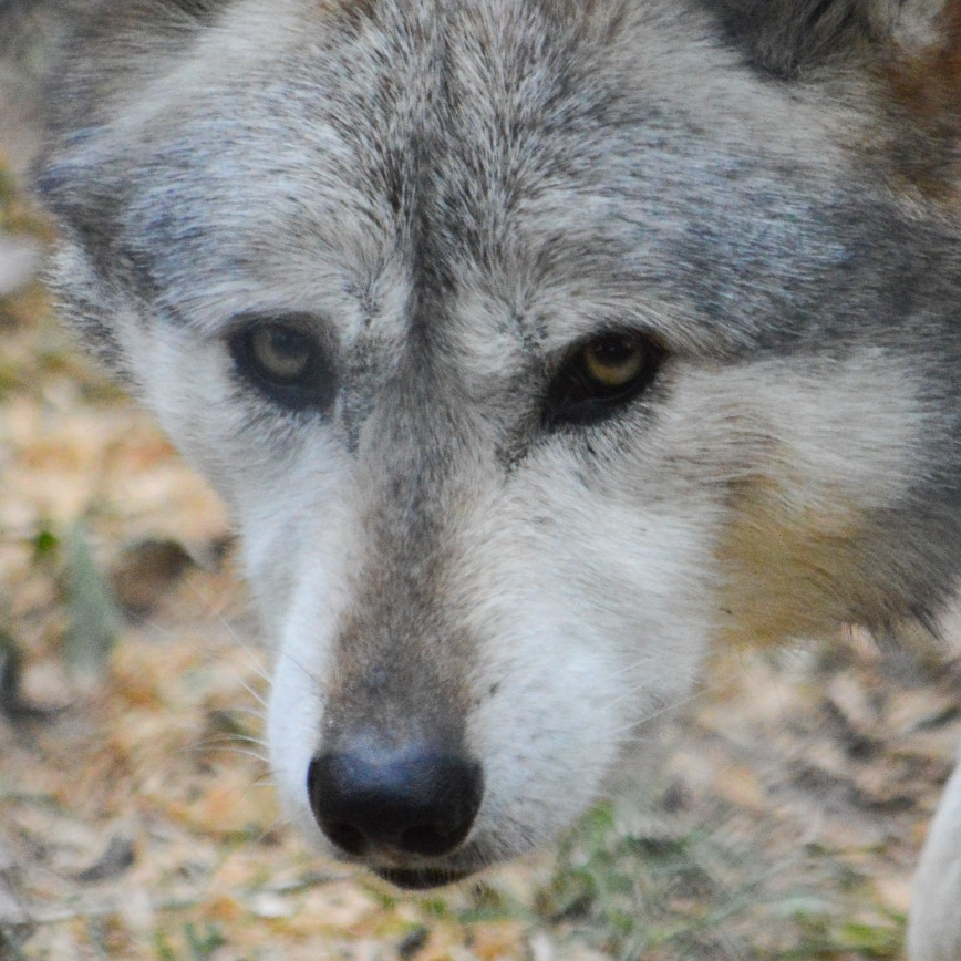 Mexican Wolf. (Michael Miller)