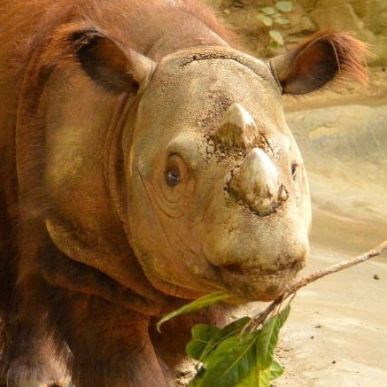 Sumatran rhino. (Michael Miller)