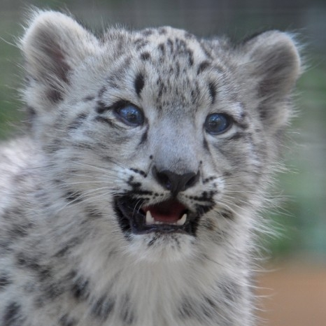 Snow leopard. (Michael Miller)