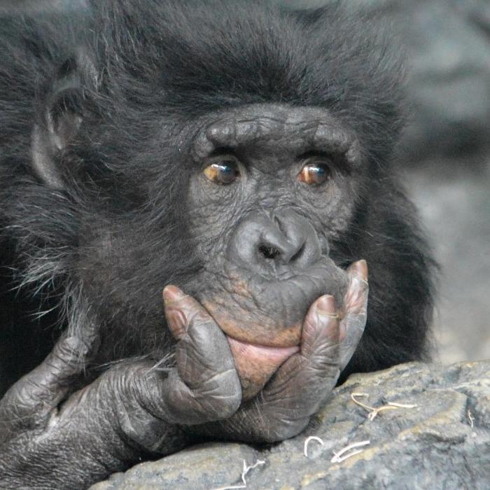 Bonobo. (Michael Miller)