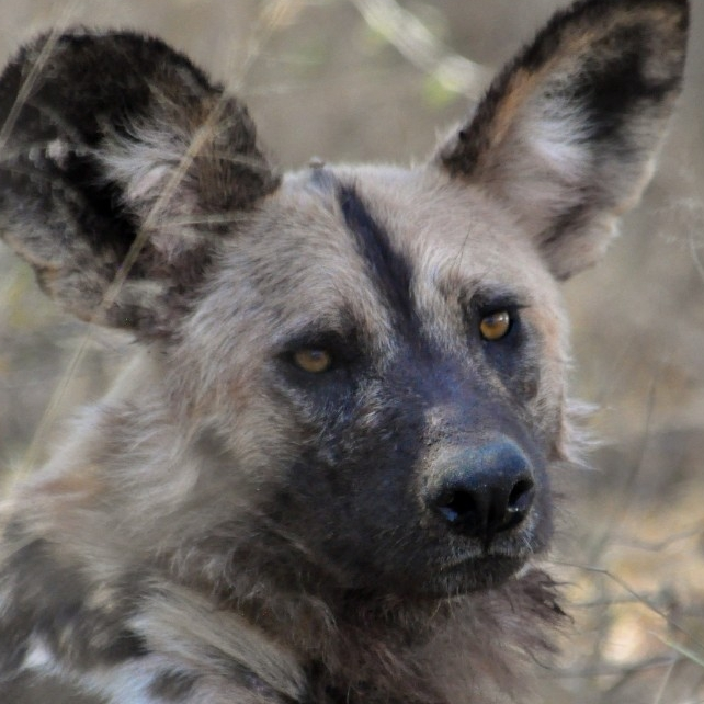 Painted dog. (Michael Miller)
