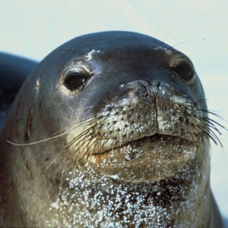 Monk seal. (USFWS)