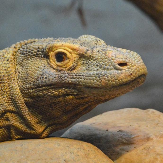Komodo dragon. (Michael Miller)