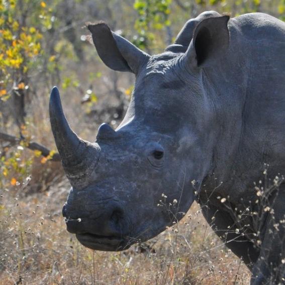 White rhino. (Michael Miller)