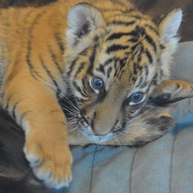 Malayan tiger. (Michael Miller)