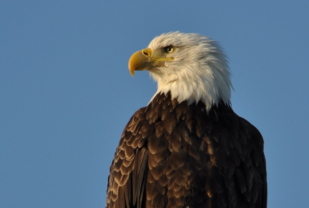 The recovery of the once-endangered American bald eagle is a conservation success story. (Michael Miller)