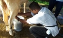 Peace Corps student milking a cow