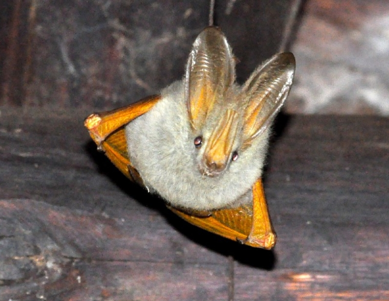 A slit-faced bat in Uganda has enormous ears to help in echolocation. (Photo by Michael Miller)