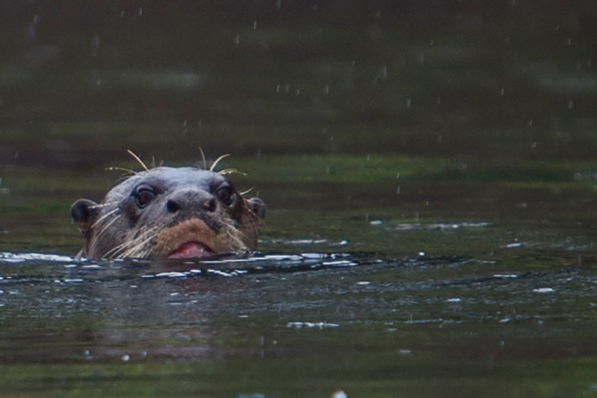 A river otter pops its head above water.