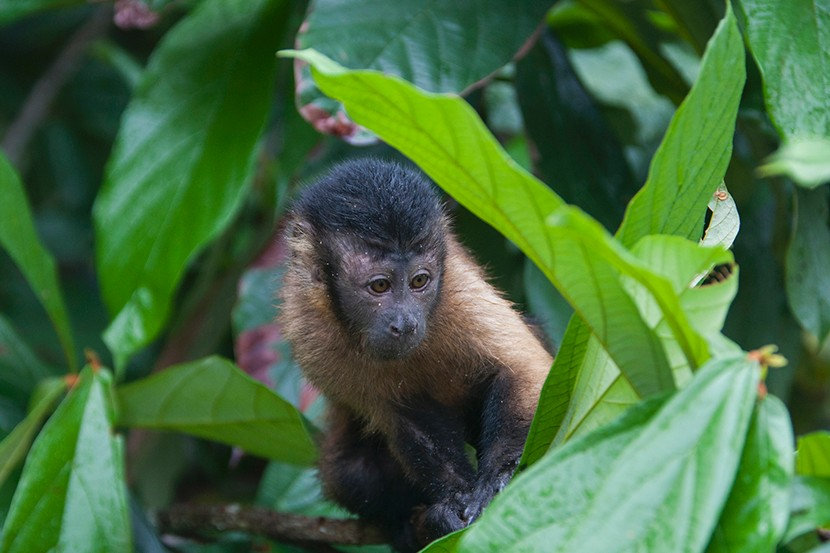 Monkey in the treetops.