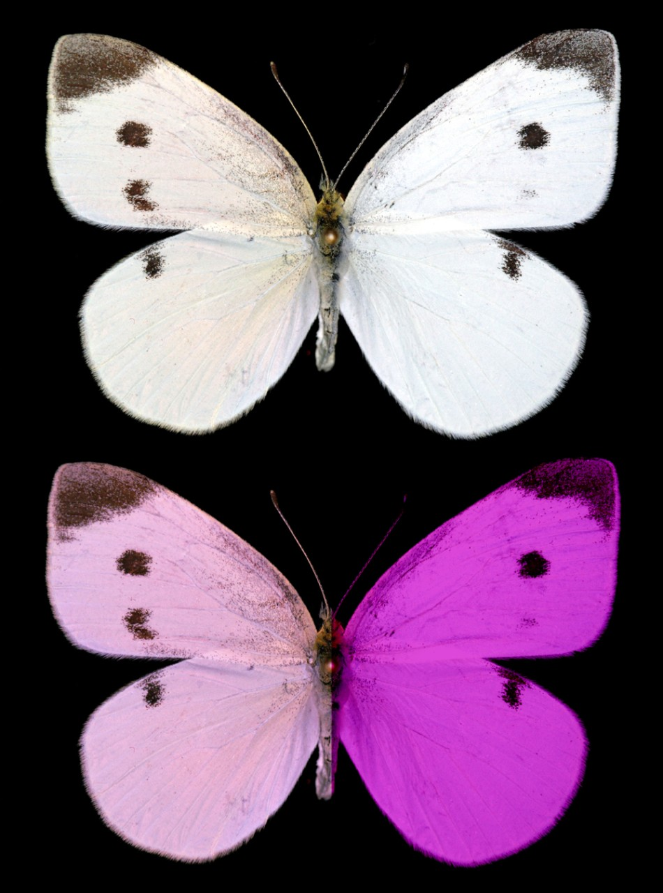 Two Pieris rapae butterflies: white on top, violet on bottom.