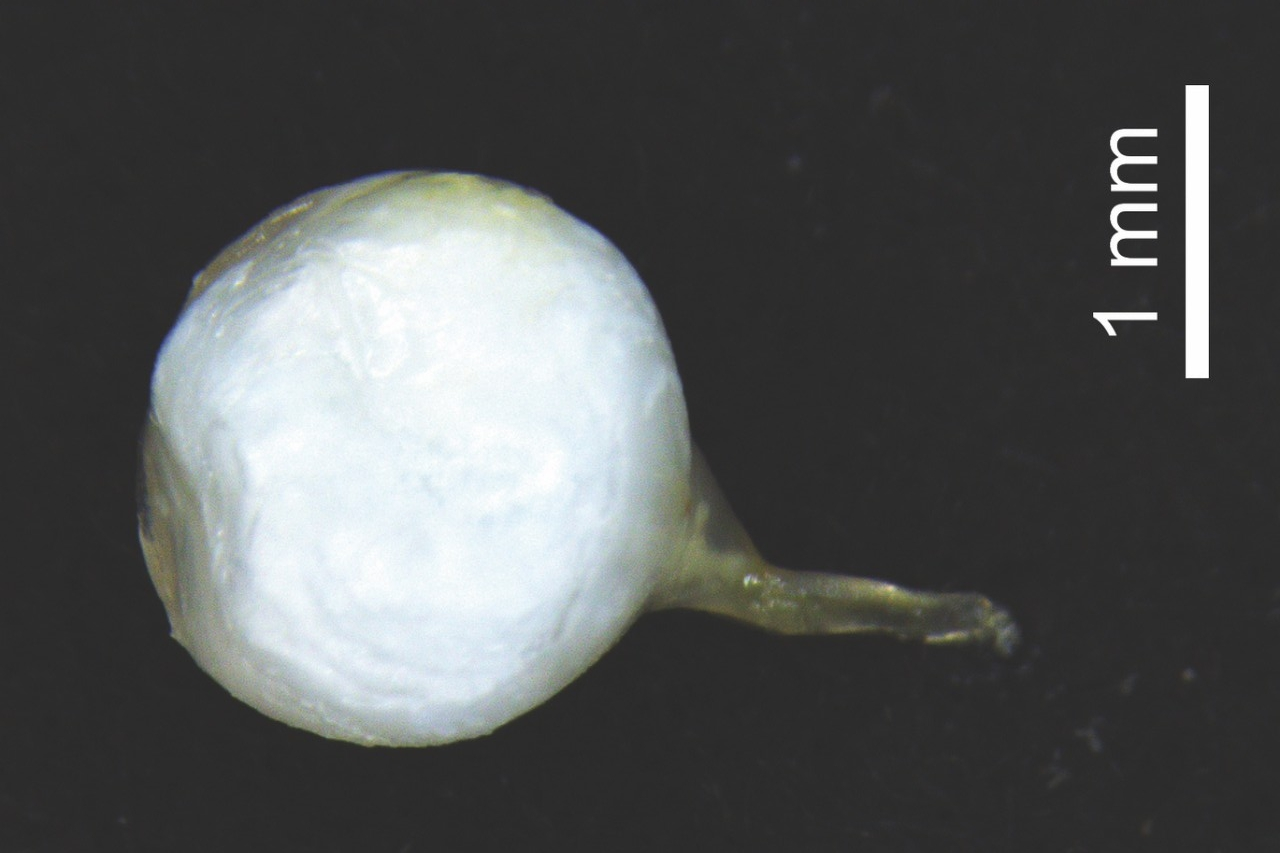 An intact spermatophore from a Pieris rapae butterfly.