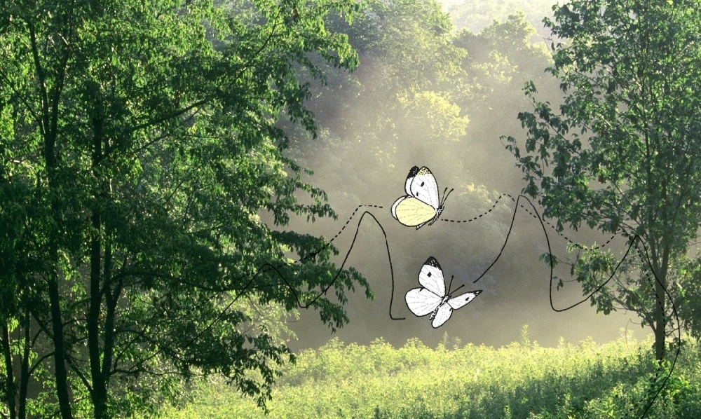 An illustrated flight path of two white butterflies in a forest setting.