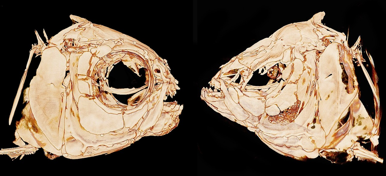 A micro CT scan shows differences in bone structure between a surface fish, left, and a cavefish. The eye orbit has collapsed and the jaws are more pronounced in the cavefish, among other differences.