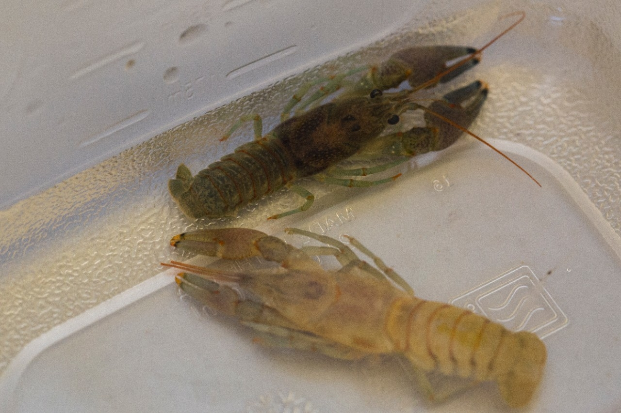 A light-colored crayfish has just molted next to a hardshell crayfish in UC's biology lab. UC biologist Bruce Jayne and his students are studying queen snakes, which eat crayfish that are soft from recently molting.