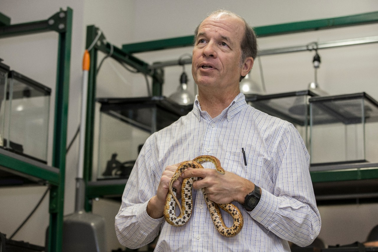 UC biology professor Bruce Jayne holds a colorful corn snake in his lab. Jayne's research has revealed many secrets about snake locomotion and behavior.