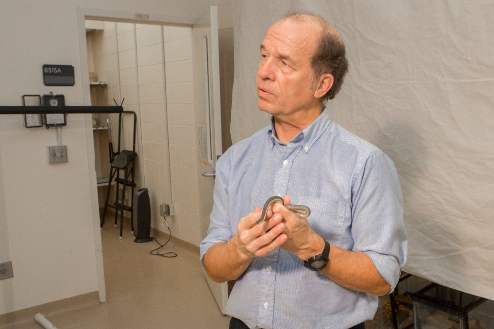 UC biologist Bruce Jayne is applying what he learned about Asian crab-eating snakes to American queen snakes for his next study.