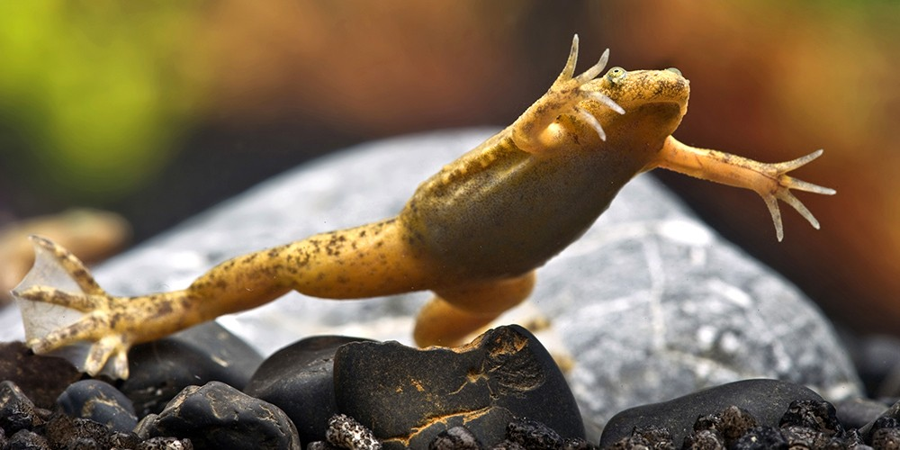 A Western clawed frog (Xenopus tropicalis) leaps from a rock into water. photo/Blickwinkel/Alamy stock photo