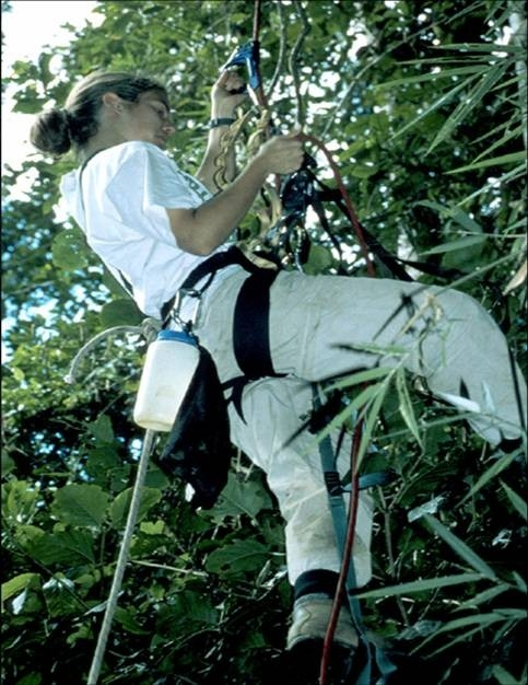 Virginia Tech professor Sarah Karpanty uses rappelling gear to climb high into the abandoned nest of a goshawk in Madagascar's Ranomafana National Park. (Sarah Karpanty)