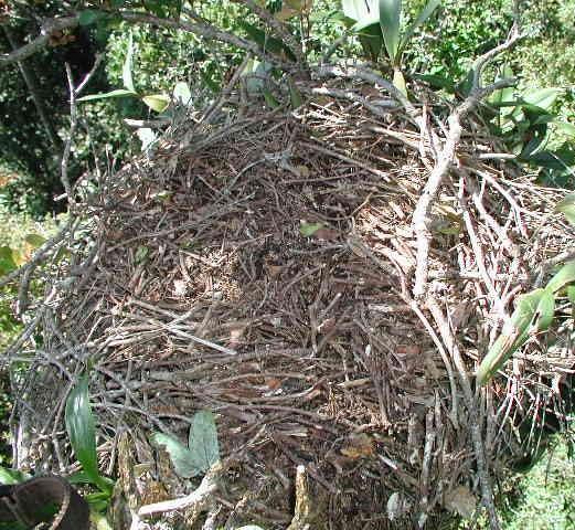 An empty goshawk nest. (Sarah Karpanty)
