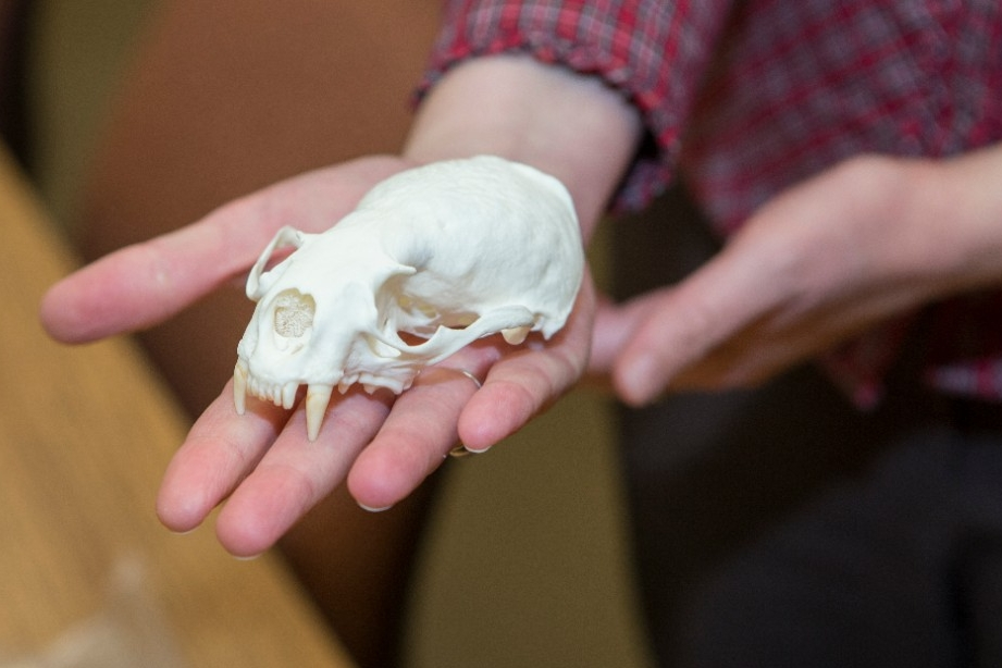 An otter skull, part of a collection of animal bones in UC professor Brooke Crowley's lab.