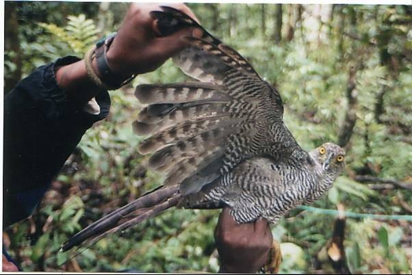A reclusive Henst's goshawk captured for study in Madagascar. (Sarah Karpanty)