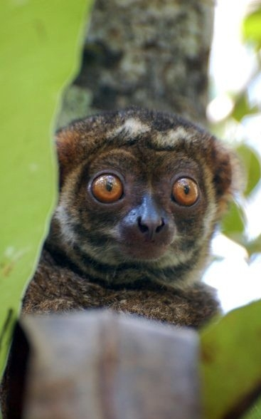 A lemur called an avahi. (Andrea Baden)