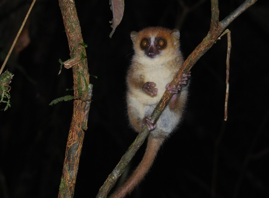 A mouse lemur, prey for goshawks. (Sarah Zohdy)