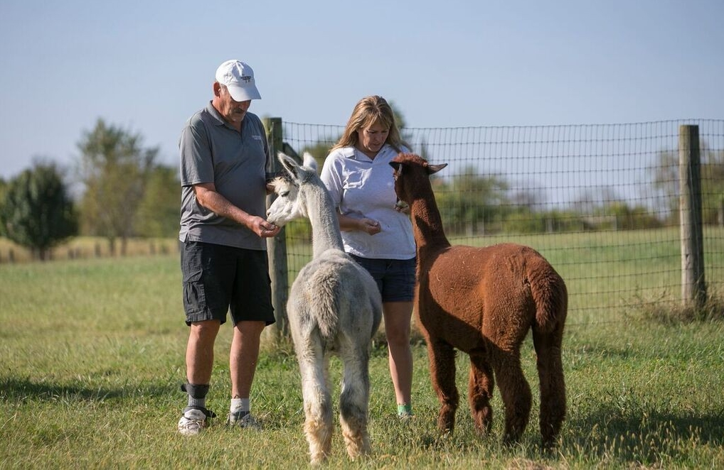 Wahl and Lori give snacks to a pair of alpacas in a field.