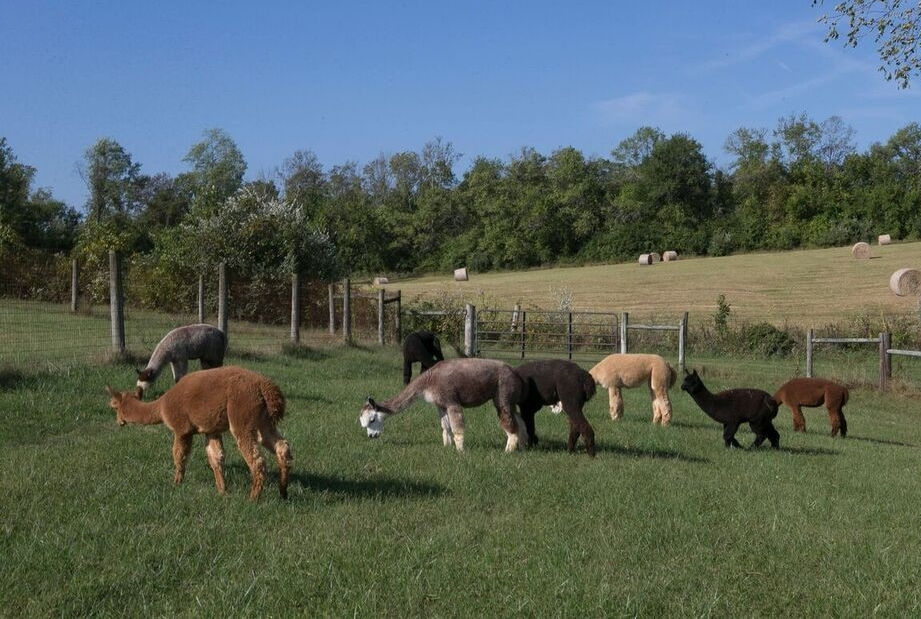 A group of alpacas graze in front of a hay field.