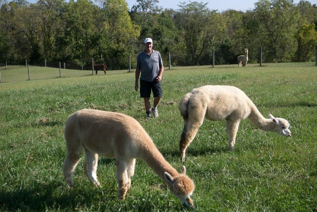 Wahl approaches two alpacas in a field.