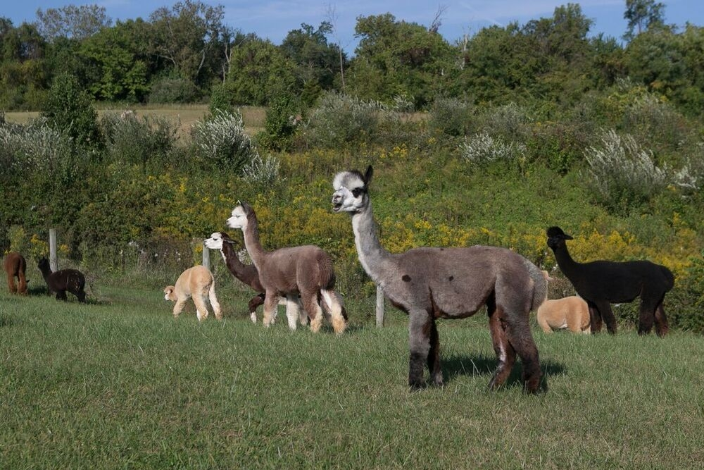 Alpacas mingle together in a field.