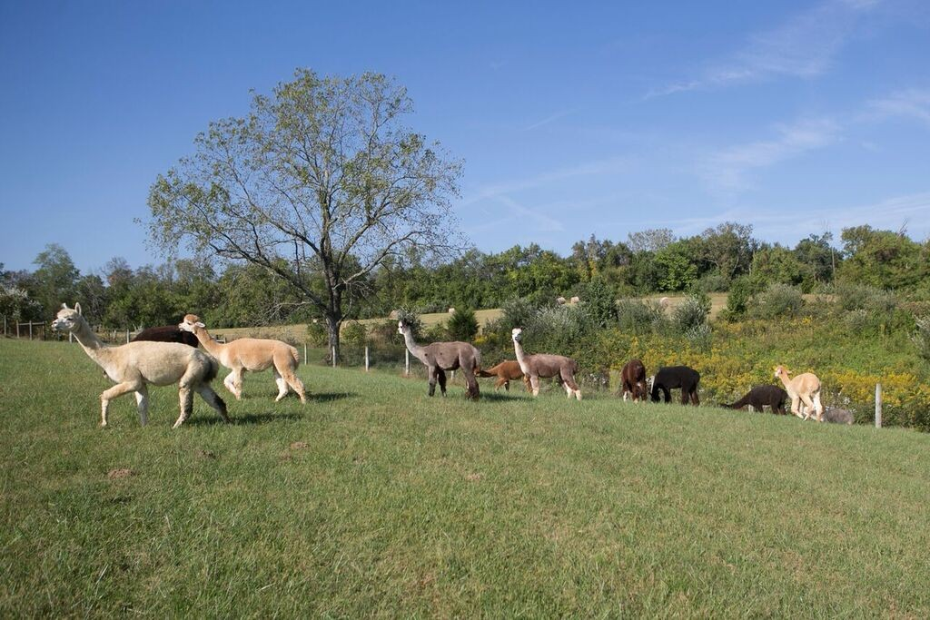 A group of alpacas wander about a field.