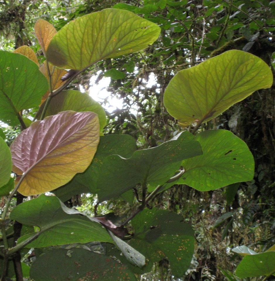 UC professor Eric Tepe discovered this species of plant, Piper kelleyi, nicknamed pink belly.