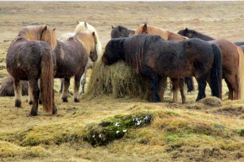 Icelandic horses stand together in a field.photo/Kevin Grace