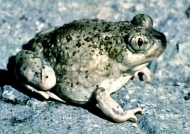 Up close look at a spadefoot toad, studied by the University of Cincinnati