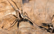 Photo of a wolf spider on a tan background