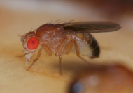 A very close view of a fruit fly, by the University of Cincinnati