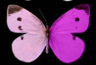 A brightly colored lavender and purple butterfly