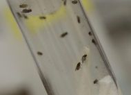 Fruit flies in a test tube to demonstrate the University of Cincinnati's research into sensory perceptions