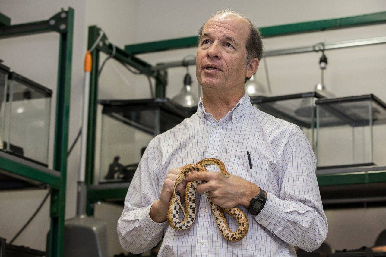UC biology professor Bruce Jayne holds a corn snake in his snake lab.