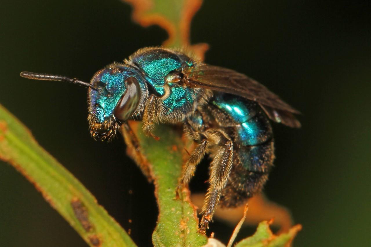 A sweat bee.