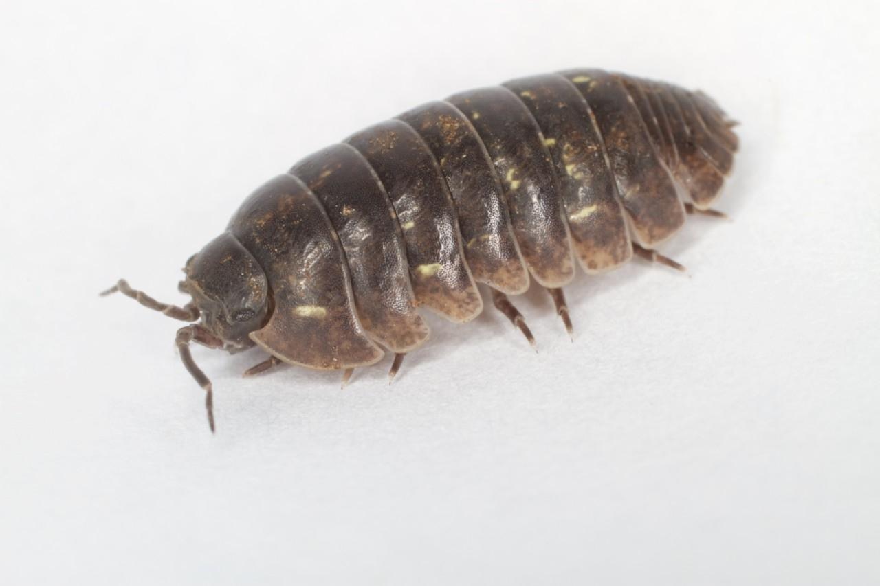 A pillbug. (Wikimedia Commons/Brian Gratwicke)