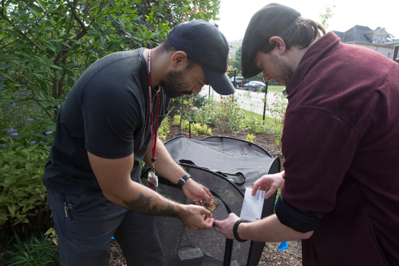 UC biology professor Patrick Guerra and student Jered Nathan examine a butterfly in their migration study.