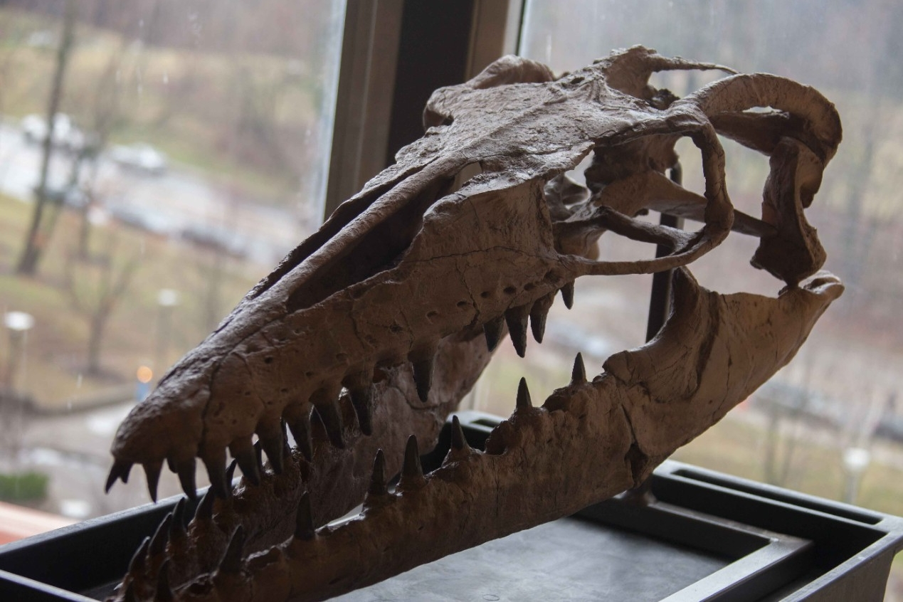 About 70 species of mosasaur have been identified so far. Some were as small as dolphins while others were bigger than Greyhound buses.